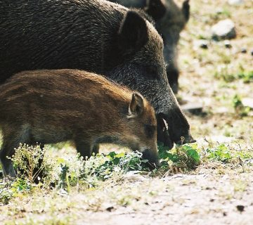 sanglier-parc-animalier